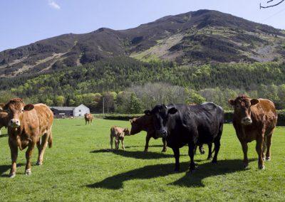 left-cows